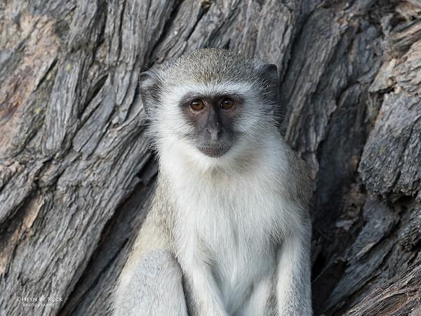 Vervet Monkey, Savuti, Chobe NP, Botswana, May 2017-2