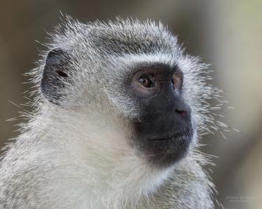 Vervet Monkey, Phinda, KZN, SA, Oct 2016-2