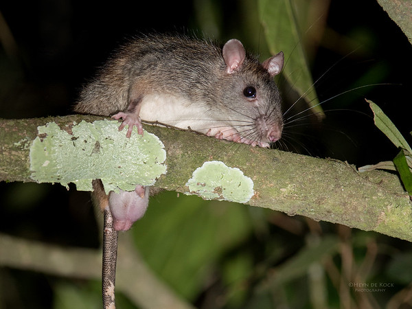 Gaint White-tailed Rat, Julatten, QLD, Dec 2014-1a