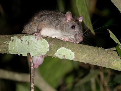 Gaint White-tailed Rat, Julatten, QLD, Dec 2014-1a