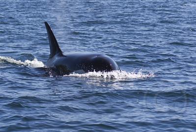 Orca Topedo