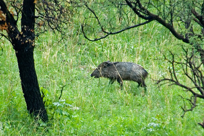 Collared Peccary - California Gulch - AZ