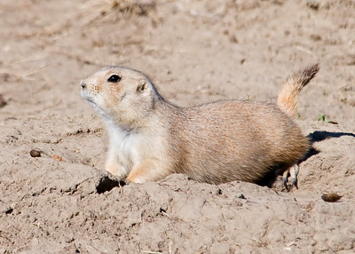 Black-tailed Prairie Dog - Badlands Nat'l Park, SD