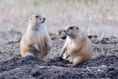 Black-tailed Prairie Dog - Custer State Park - Black Hills, SD