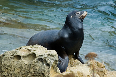 California Sea Lion - Cape Arago State Park - OR