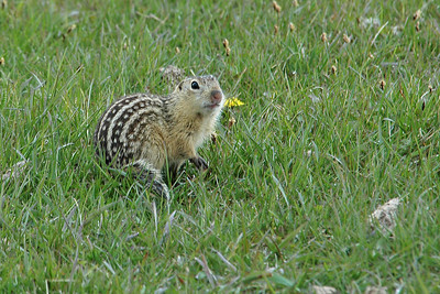 Gopher (Thirteen-lined Ground Squirrel) - Lac Qui Parle County, MN