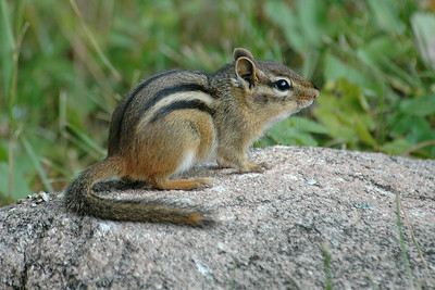 Eastern Chipmunk - Dunning Lake - Itasca County, MN