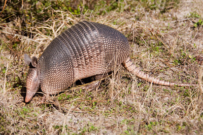Armadillo - St. Mark's NWR - FL
