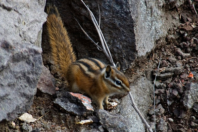 Eastern Chipmunk - Taconite Harbor, MN