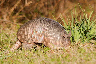 Armadillo - Interstate 10 - FL
