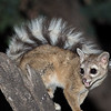 Ringtail, Ash Canyon Bed & Breakfast, Arizona
