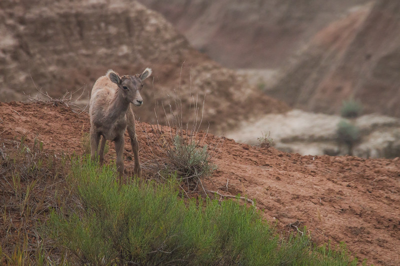 Bighorn Sheep lamb, Badlands National Park (North Unit), South Dakota