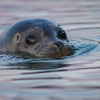 Harbour Seal, Pedder Bay, British Columbia