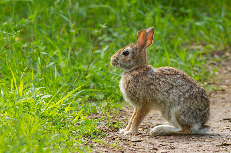 Eastern Cottontail, Frink Centre Conservation Area, Ontario