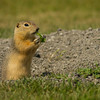 Richardson's Ground Squirrel, Oak Hammock Marsh, Manitoba
