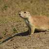 Black-tailed Prairie Dog, Grasslands National Park - West Block, Saskatchewan