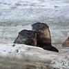 Otter Consternation