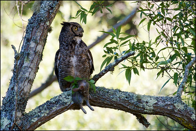 Great Horned Owl with brush rabbit. Bubo virginianus