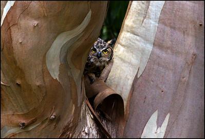 Great Horned Owl, juvenile Bubo virginianus
