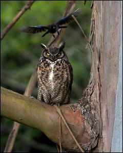 Great Horned Owl about to be dive bombed by a Stellar Jay