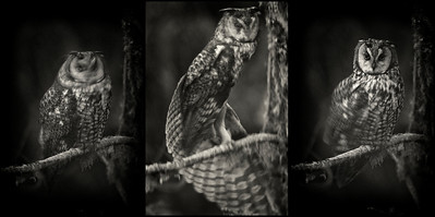 Long-eared Owl walking up to the night