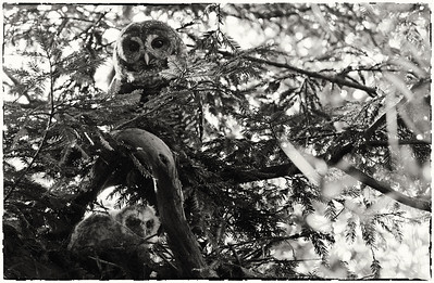 Northern Spotted Owl and owlet (nest super high up in tree, image cropped quite a bit)