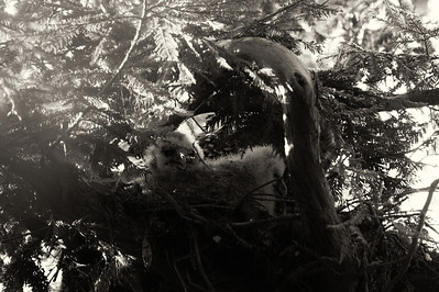 Northern Spotted Owlets in nest (nest super high up in tree, image cropped quite a bit)