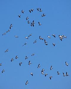 White Pelican Sky