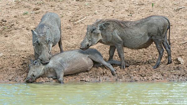Warthog, Mkuze GR, KZN, SA, Jan 2014-3