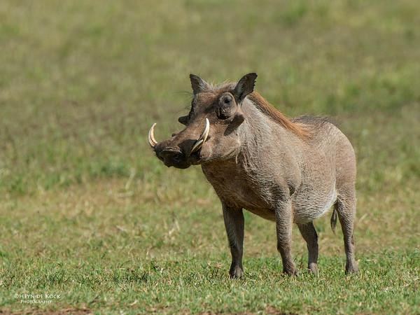 Warthog, Addo Elephant National Park, EC, SA, Dec 2013-2 copy