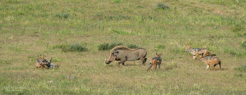 Warthog & Jackal saga, Addo Elephant NP, EC, SA, Dec 2013-5