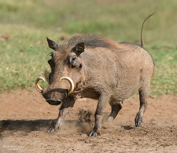 Warthog, Addo Elephant NP, EC, SA, Dec 2013-1