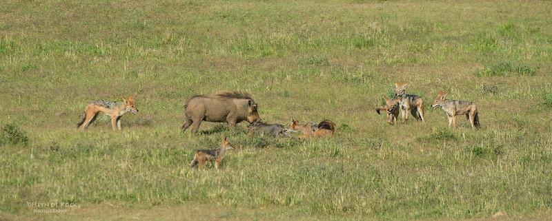 Warthog & Jackal saga, Addo Elephant NP, EC, SA, Dec 2013-4 copy