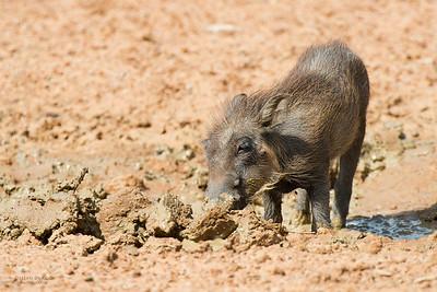 Warthog, piglet, Pilansberg National Park, SA, Dec 2013-1 copy