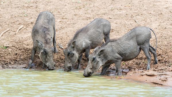 Warthog, Mkuze GR, KZN, SA, Jan 2014-4