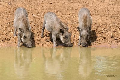 Warthog, Mkuze GR, KZN, SA, Jan 2014