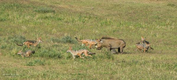 Warthog & Jackal saga, Addo Elephant NP, EC, SA, Dec 2013-2 copy