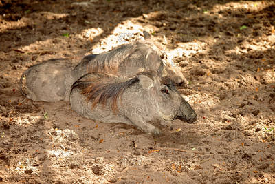 Warthog (Phacochoerus africanus), at the Jacksonville Zoo and Gardens.