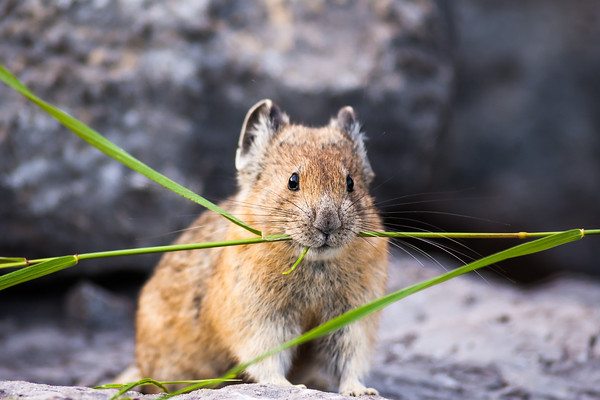 Pika with fresh grass