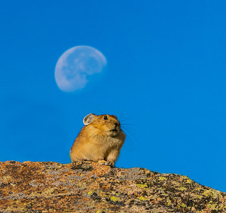 Pika Under the Moon