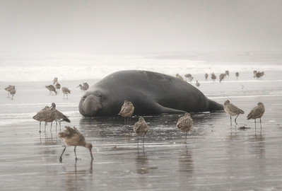 Foggy day with Marbled Godwits