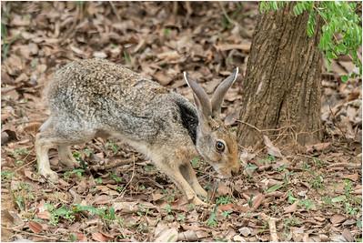 Indian Hare, Yala, Sri Lanka, 26 August 2019