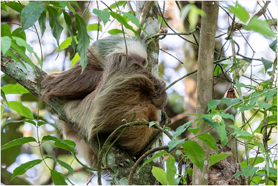 Hoffmann's Two-toed Sloth, La Selva, Costa Rica, 5 April 2018