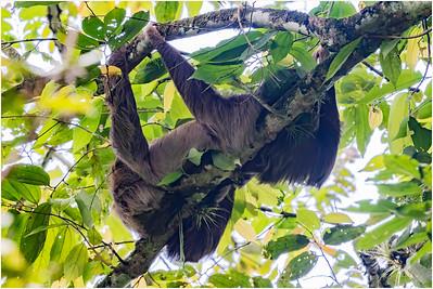 Hoffmann's Two-toed Sloth, La Selva, Costa Rica, 4 April 2018