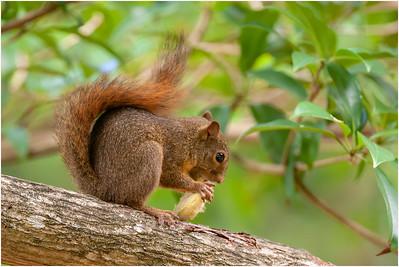Red-tailed Squirrel, Tobago, Trinidad and Tobago, 5 August 2006