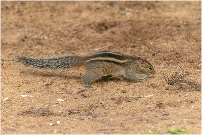 Common Palm Squirrel, Waskaduwa, Sri Lanka, 18 August 2019
