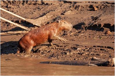 Capybara, Tambopata, Peru, 24 October 2008