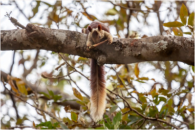 Indian Giant Squirrel, Goa, India, 26 March 2008