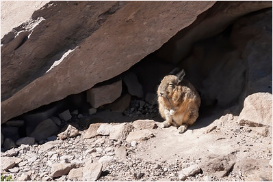 Northern Mountain Viscacha, Lauca National Park, Chile, 20 January 2007
