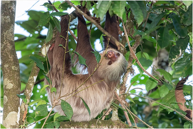 Hoffman's Two-toed Sloth, La Selva, Costa Rica, 26 March 2019